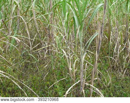 Close-up Of Sugarcane Plants In Northern Florida. When Planted As A Crop, It's Used To Produce Sucro
