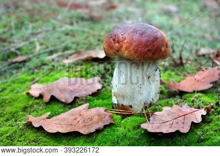 White Mushroom. Cep Mushroom Growing In Autumn Forest. Boletus. Mushroom Picking