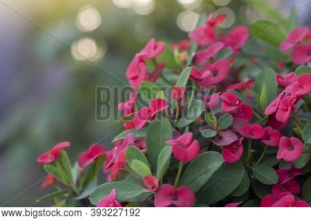 Red Euphorbia Milli Or Crown Of Thorns Flower Bloom In The Garden.