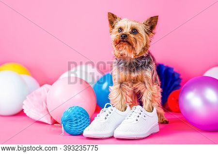 Cute Dog Wearing Clothes And Shoes. Adorable Puppy. Dog Shoes. Yorkshire Terrier In Shoe