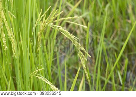 Close Up Of Green Paddy Rice. Green Ear Of Rice In Paddy Rice Field Under Sunrise, Blur Paddy Rice F