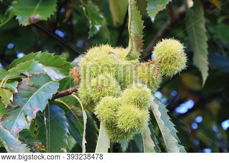 Husk On A Chestnut Tree Branch During Autumn