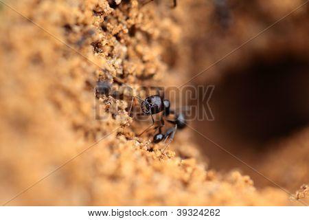 Soldier Ant Formica In Macro