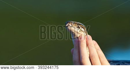 Tamed Snake Python In Female Hands Close Up