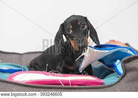 Naughty Dachshund Puppy Has Stolen Home Slippers Of Owner And Is Gnawing Them In Pet Bed, Front View