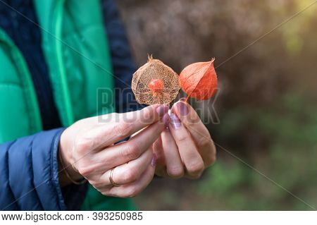 Physalis Peruviana Fruit, Ripe Goldenberries With Dry Leaves In Female Hands. Woman Holding Groundch
