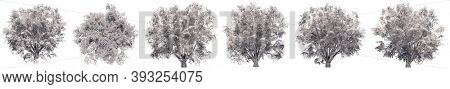 Set or collection of drawings of Field Elm trees isolated on white background . Concept or conceptual 3d illustration for nature, ecology and conservation, strength and endurance, force and life