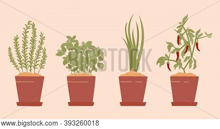 Potted Rosemary, Basil, Spring Onion And Chilli. Indoor Garden Horticulture In Home. Green Herb Gard