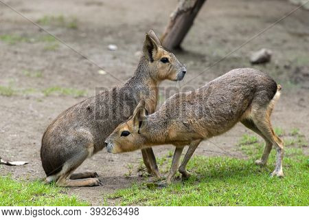 Mari, Patagonian Hares, Patagonian Guinea Pigs Are A Rodent Of The Rodent Family,