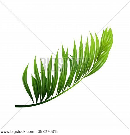 Coconut Exotical Palm Green Leaf Branch Vector. Pacific Jungle Wood Coconut Tree Botanic Vegetation