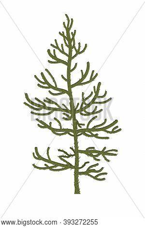 Monkey Puzzle Tree Or Araucaria Araucana. Vector Illustration