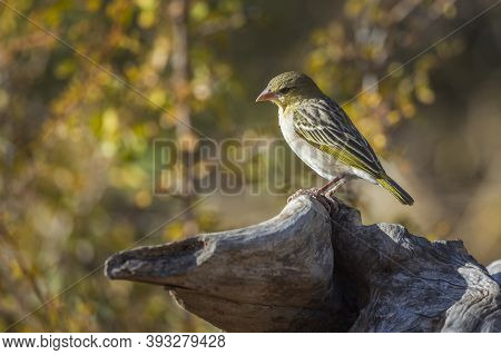 Village Weaver Standing In Log With Fall Colors Background In Kruger National Park, South Africa ; S