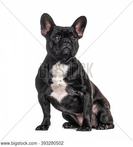 French bulldog black, sitting, isolated