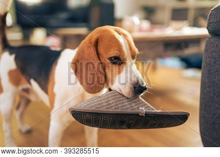 Dog Holding A Slipper In Mouth. Standing Indoors. Canine Theme