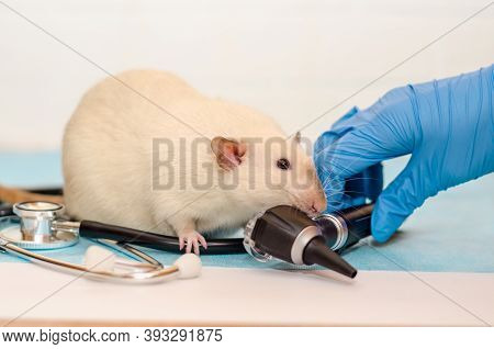 White Rat Dumbo Siam At Veterinarian Doctor Appointment With Hands In Blue Gloves. Examination Of Ea