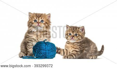 Kitten British longhair and shorthair playing with a blue ball of wool