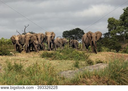 Elephant (loxodonta Africana) Family Traveling In Savanna. A Large Herd Of African Elephants On The
