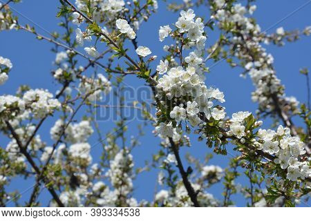Blossoming Cherry Tree, Prunus Avium, In Spring
