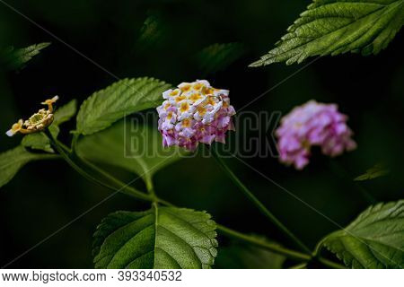 Lantana - Perennial Flowering Plants In The Verbena Family