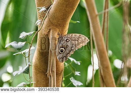 Image Of Caligo Oedipus Or Boomerang Owl Butterfly
