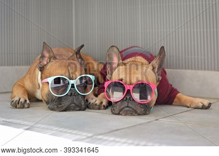 Two Funny Brown Small French Bulldog Dogs Lying Relaxed In Shade In Summer Wearing Colorful Sunglass