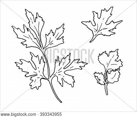 A Hand-drawn Parsley Branch With Leaves And Coriander Sprigs Isolated On A White Background. Hand-dr