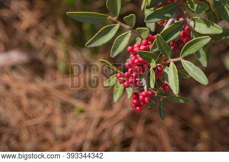 Red Fruits Of The Mastic Tree Pistacia Lentiscus Close-up. The Plant Is Used In Medicine And Cosmeto
