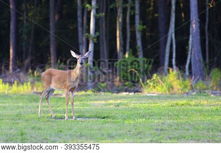 Whitetail Deer Doe Near A Forest In North Carolina
