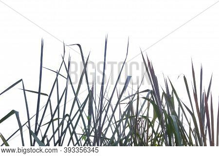Blurred A Group Of Wild Grass Leaves On White Isolated Background For Green Foliage Backdrop