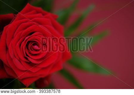 Red Rose Close-up On A Red Background.valentine's Day Greeting Card. Floral Card With Red Flower.wed