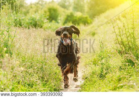 Gordon setter dog running on nature