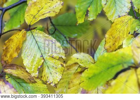 Close-up View Of Autumn Coloring Of Beech Tree Leaves