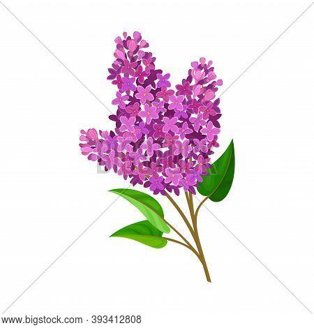 Flourishing Branch With Fragrant Tender Lavender Florets Vector Illustration