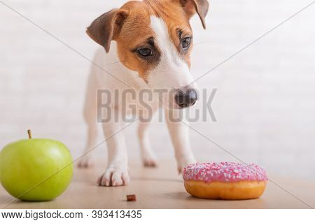 Jack Russell Terrier Decides What To Eat. Donut And Green Apple. Food Habits Of The Dog