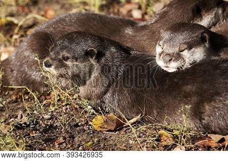 Short Clawed Otter Aonyx Cinerea, Group Resting Short Clawed Otter Aonyx Cinerea, Group Resting
