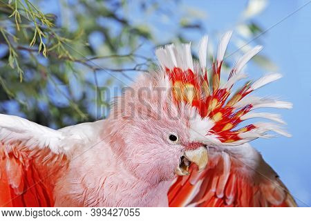 Pink Cockatoo Or Major Mitchell\'s Cockatoo Cacatua Leadbeateri, Adult, Close-up Of Head