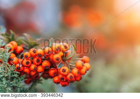Autumn Season. Fall Harvest Concept. Autumn Rowan Berries On Branch. Red Berries And Leaves On Branc