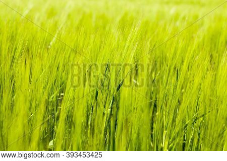Agricultural Field Where Green Barley Grows, Farming To Produce A Crop Of Still Unripe Grain, Young