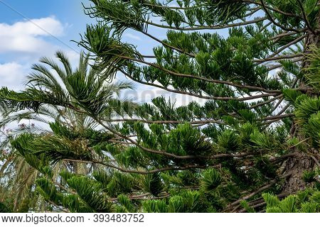 Natural Abstract Background With The Branches Of The Coniferous Araucaria Heterophylla Tree. Green F