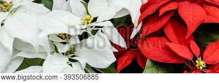 Background Of Red And Green Poinsettias , Euphorbia Pulcherrima.christmas Plant Or Red Poinsettia Fl