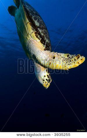 Diving Hawks Bill Sea Turtle