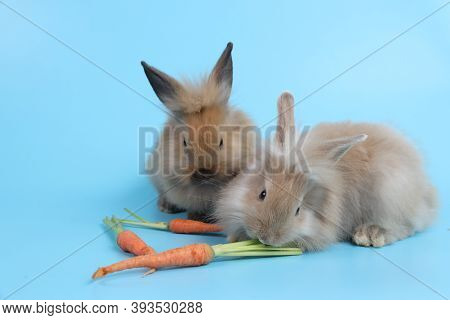 Young Two Cute Brown Easter Bunny Rabbit With Carrots On Blue Background