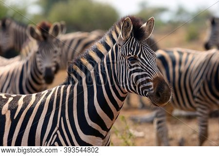 The Plains Zebra (equus Quagga, Formerly Equus Burchellii), Also Known As The Common Or Burchell's Z