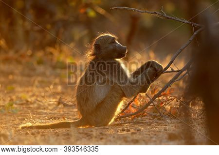 Backlit chacma baboon (Papio ursinus), Kruger National Park, South Africa