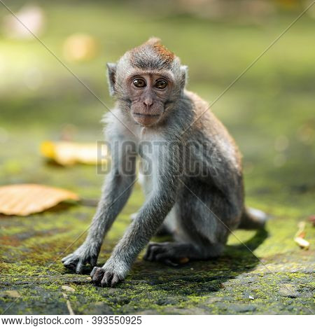 Portrait Of A Small Macaque Monkey Sits On The Mossy Steps Of The Temple. Copy Space. Monkey Forest,