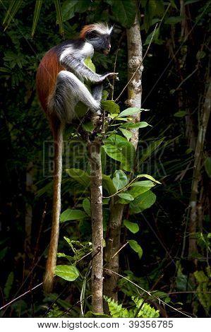 eye's ape in the island of zanzibar jozany forest poster