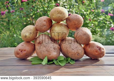 Fresh Dug Potatoes On A Wooden Table And Against A Background Of Green Leaves. Stacked On Top Of Eac