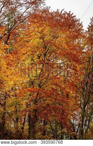 Closeup Of A Group Of Beech Trees In Autumn With Red, Yellow And Orange Leaves. Trentino-alto Adige,