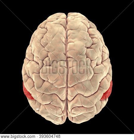 Human Brain With Highlighted Angular Gyrus, Top View, 3d Illustration. It Is Located In The Parietal