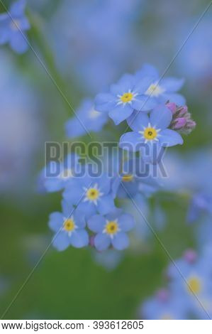 Vertical Toned Tiny Flowers Background. Bluish Colored Forget-me-not Creative Layout